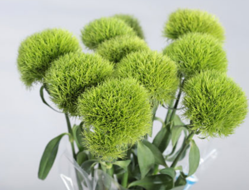 Picture of Green Trick Dianthus.PNG