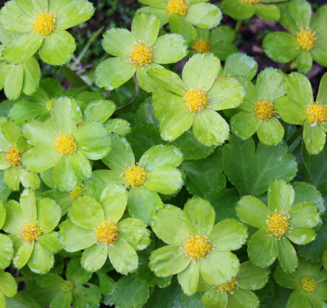Woodland Plants With Green Flowers And Yellow In The Centers Png