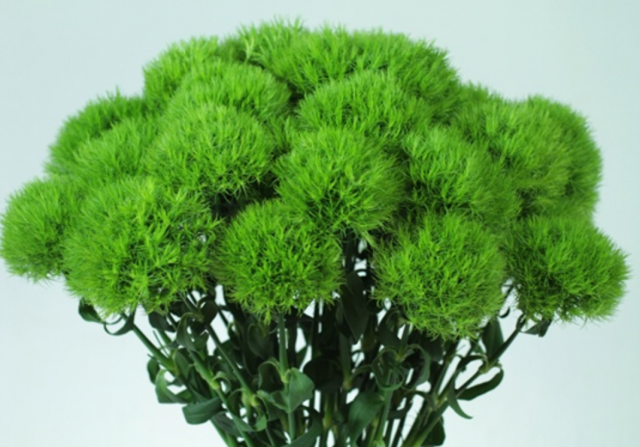 Green Ball - Dianthus.PNG