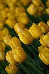 Yellow Tulips picture.jpg