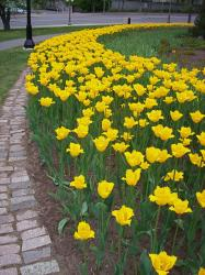 yellow tulips on city landscape picture.jpg