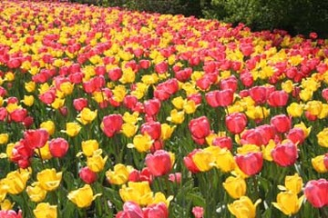 yellow and pink tulips fieldjpg