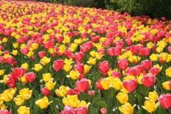 yellow and pink tulips field.jpg