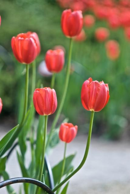 wild flower picture of tulips jpg  1 comment