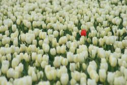 whtie and light yellow tulips field with one red tulip.jpg