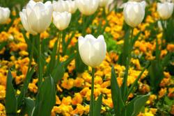 white tulips with yellow flowers.jpg