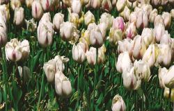 white tulips picture.jpg