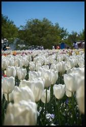 white tulips garden photo.jpg
