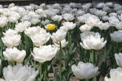 white tulips flower.jpg