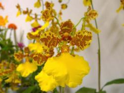 yellow orchids with red dots.jpg