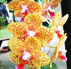 yellow orchids with red dots picture.jpg