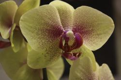 Yellow Orchid with purple centers.jpg