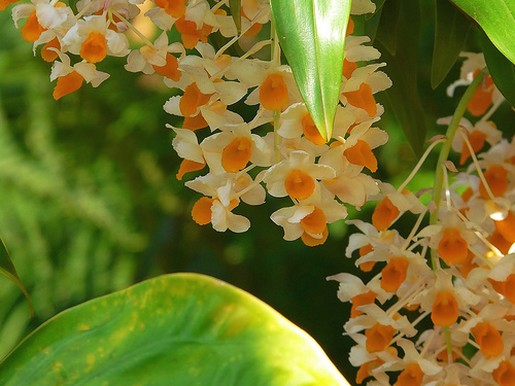 orchid flowers gallery [p. ], Beautiful flower