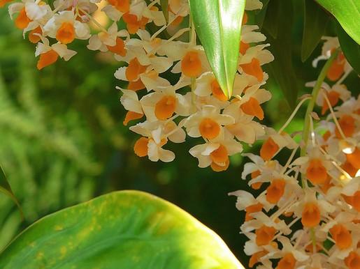 Yellow orchid flowers with orange eyesg mightylinksfo