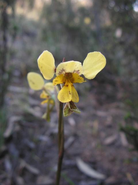 yellow orchid flower in wild picture.jpg
