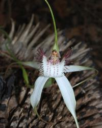 White spider orchid picture.jpg