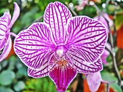 white Purple Phalaenopsis photo.jpg