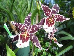white Orchids with dark red big dots.jpg
