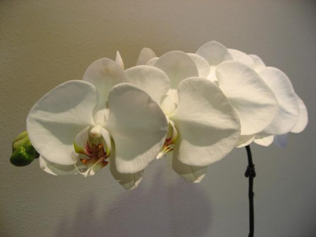 White Orchids photo.jpg