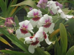 white orchid with red and pink centers.jpg