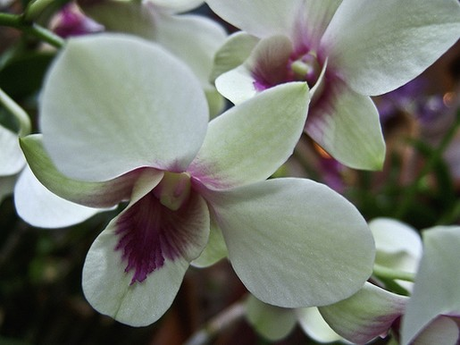 white orchid with purple centers.jpg