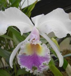 white orchid with multi center.jpg