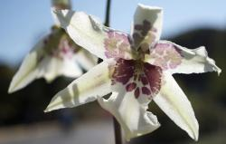 white orchid flower with brown dots.jpg