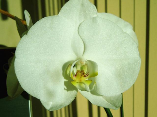 white dendrobium orchid flower picturejpg.jpg (1 comment ...