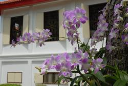 white and light purple Orchids.jpg