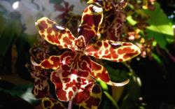 tiger paterns cattleya orchid flowers.jpg