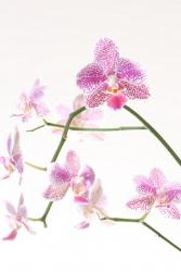 small white and pink orchid flowers photo.jpg