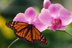 purplish pink dendrobium orchid flowers with butterfly.jpg
