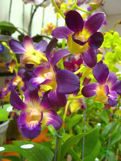 orchid flowers with yellow centers, Beautiful flower