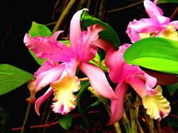 pink yellow orchid lfowers.jpg