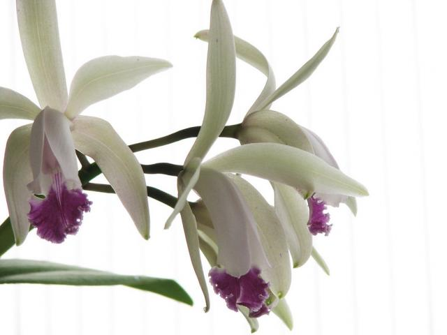 phalaenopsis orchid flowers in white and purple purple eye.jpg