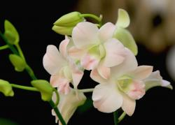 peach orchid flowers photo.jpg