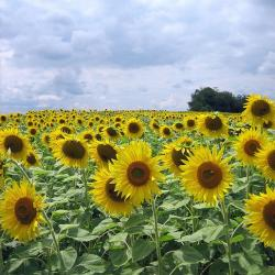 beautiful sunflowers field.jpg