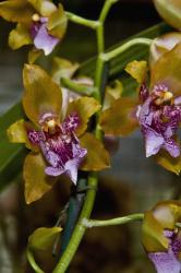 orchids with brown with purple center.jpg
