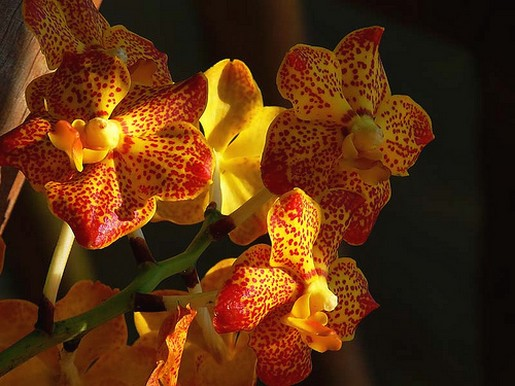 orchid flower in yellow with orange dots.jpg