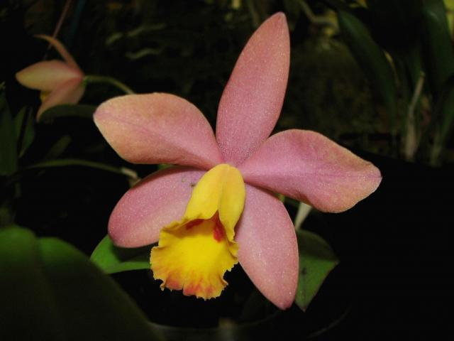 orange pink orchid flower with bright yellow eye.jpg