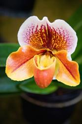 orange orchid with multi colors.jpg