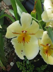 light yellow orchids with red lines.jpg