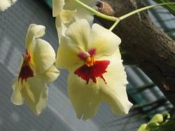 light yellow orchid flowers with red center.jpg