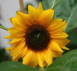 beautiful small sunflower.jpg