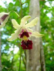 light yellow orchid flowers with dark red eye.jpg