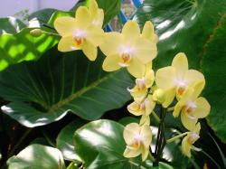 light yellow cattleya orchid flowers.jpg