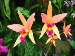 light orange orchid with pink and yellow center.jpg
