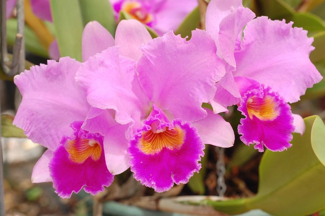 Light bright purple cattleya orchid hi res 720p hd for Orchidea cattleya