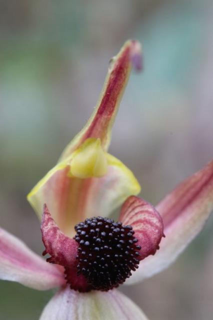 Leaping Spider Orchid photo.jpg