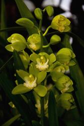green orchids picture.jpg